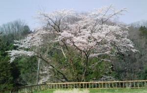 2008sakura.jpg